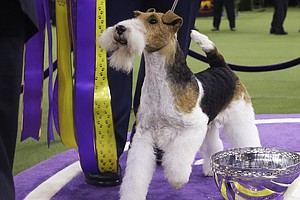It's Good To Be King: Wire Fox Terrier Wins Westminster Dog Show