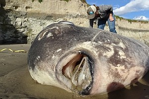 Scientists Shocked By Rare, Giant Sunfish Washed Up On Ca...