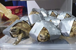 Filipino Authorities Find More Than 1,500 Smuggled Turtles And Tortoises