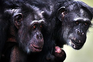 Sex, Empathy, Jealousy: How Emotions And Behavior Of Other Primates Mirror Ou...