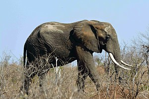 Suspected Rhino Poacher Killed By Elephant, Eaten By Prid...