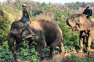 'A Million Elephants' No More: Conservationists In Laos R...