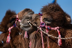 Where Camels Become Beauty Queens: Inside Mongolia's Bigg...