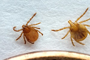 Asia's Longhorned Tick Takes Its First Documented Bite In...