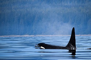 Canada Bans Keeping Whales And Dolphins In Captivity