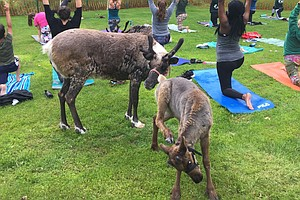 Move Over, Goat Yoga. Alaskans Now Have Reindeer Yoga