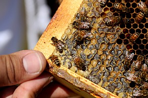 More Bad Buzz For Bees: Record Number Of Honeybee Colonie...