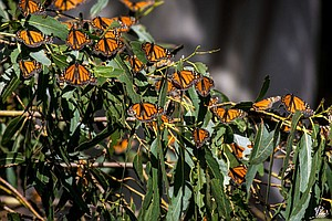 Monarch Butterflies Born In Captivity Have Trouble Migrat...