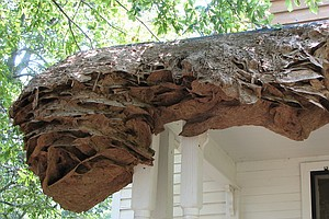 Watch Out For Wasps: Massive Yellow Jacket Nests Spotted In Alabama