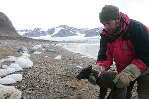 Arctic Fox Sets Record In Walking From Norway To Canada