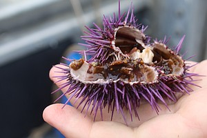 Saving California's Kelp Forest May Depend On Eating Purp...