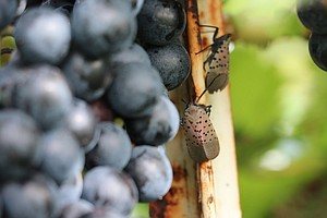 Vineyards Facing An Insect Invasion May Turn To Aliens Fo...