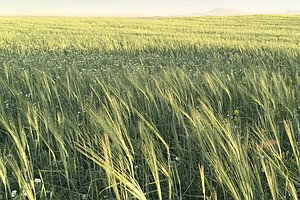 Diversifying Crops Is Good For The Planet. But Can It Be Good For Farmers' Wa...