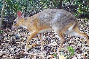 Silver-Backed Chevrotain, With Fangs And Hooves, Photographed In Wild For Fir...
