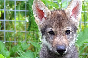 Fetching With Wolves: What It Means That A Wolf Puppy Will Retrieve A Ball
