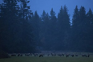 Elk Raise Tensions Between Tribes And Farmers In Washington's Skagit Valley