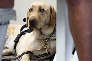 Federal Government May Tighten Restrictions On Service Animals On Planes