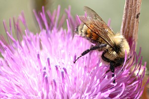 Bumblebees Are Disappearing Because Of Extreme Heat