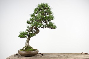 'Priceless' Bonsai Trees Stolen From Museum In Washington State