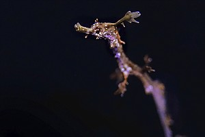 Rare Weedy Seadragons Hatch At California Aquarium