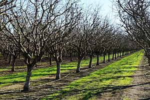 As Warm Winters Mess With Nut Trees' Sex Lives, Farmers Help Them 'Netflix An...