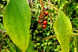 Cambodia's Prized Kampot Pepper, Nearly Wiped Out By Khmer Rouge, Makes A Com...