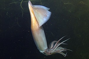 Deep Sea Squid Communicate by Glowing Like E-Readers