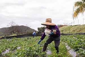 'Essential' Status Means Jobs For Farmworkers, But Greater Virus Risk