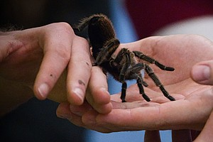 Bring Home The Tarantulas? As Research Halts, Scientists Face Difficult Decis...