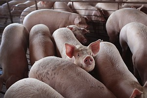 Millions Of Pigs Will Be Euthanized As Pandemic Cripples Meatpacking Plants