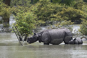 Floods Put Residents And Vulnerable Wildlife At Risk In India's Assam