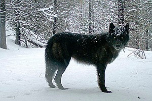 Gray Wolves To Be Removed From Endangered Species List