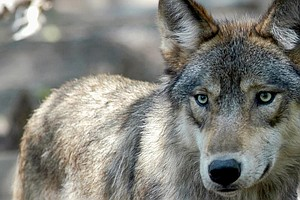 In Historic Move, Colorado Voters Decide To Reintroduce Gray Wolves