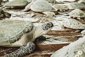 Texas 'Cold-Stun' Of 2021 Was Largest Sea Turtle Rescue In History, Scientist...
