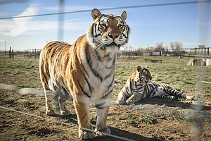 Feds Seize 68 Lions, Tigers And Other Big Cats From Tiger King Park In Oklahoma