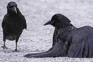 Apparently, Crows Love Luxurious Ant Baths. This Is What It Looks Like