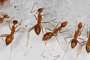Yellow Crazy Ants, An Enemy To Seabirds, Have Been Wiped Out On A Remote Atoll