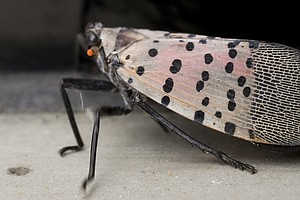 Agriculture Officials Really Want Those Spotted Lanternflies Gone, Gone, Gone