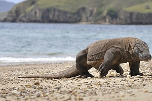 Climate Change Is Threatening Komodo Dragons, Earth's Largest Living Lizards