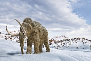 Scientists Say They Could Bring Back Woolly Mammoths. But Maybe They Shouldn't