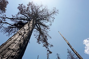A Single Fire Killed Thousands Of Sequoias. Scientists Are Racing To Save The...