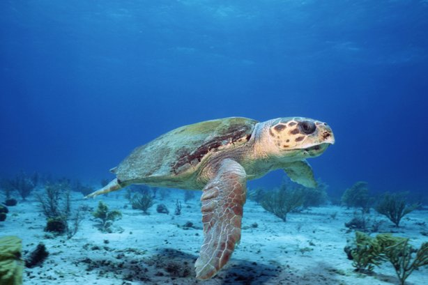 A female loggerhead turtle sets off to lay eggs in the place where she was born.