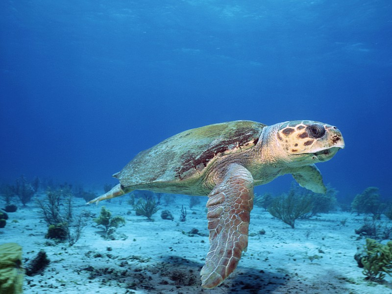 A female loggerhead turtle sets off to lay eggs in the place where she was bo...