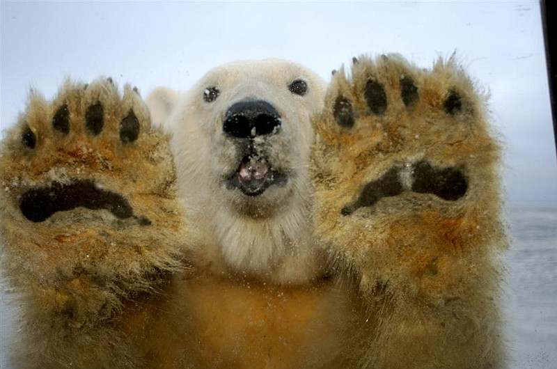 A polar bear from DisneyNature's Earth