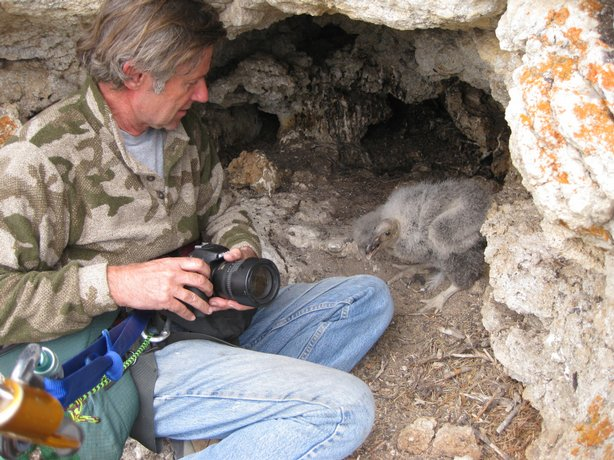 Mike Wallace who leads the Condor Recovery Program checks on the first condor chick born in the wild to survive 45 days. Wallace repelled down a 330 foot cliff to get to the bird.