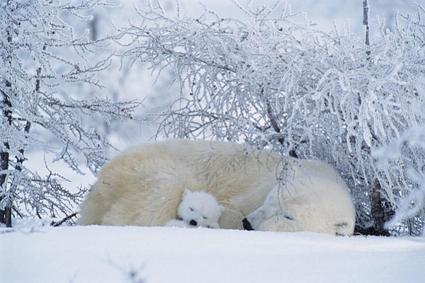 A polar bear asleep with a small cub; Canada.