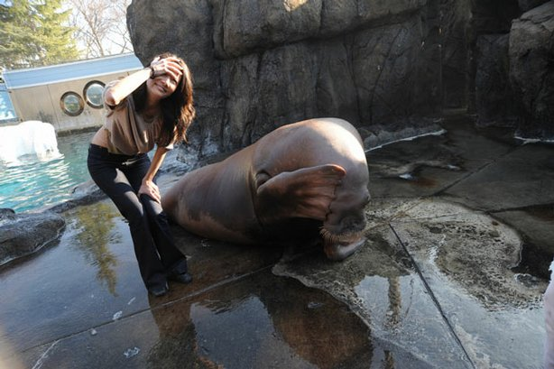 Studies of walrus and sea lion vocal and intellectual abilities are shedding light on the evolutionary roots of human language. Pictured: New correspondent Ziya Tong and Siku, a female walrus.