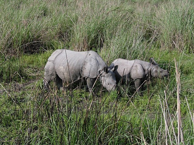 Photo of an Indian rhino and calf. This program looks at efforts in South Afr...