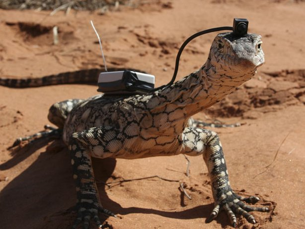 "This program follows monitor lizards, the largest lizards to walk the planet, and looks at what makes these tongued reptiles such unique survivors. Pictured: Perentie (Varanus giganteus) with ""Lizardcam."""