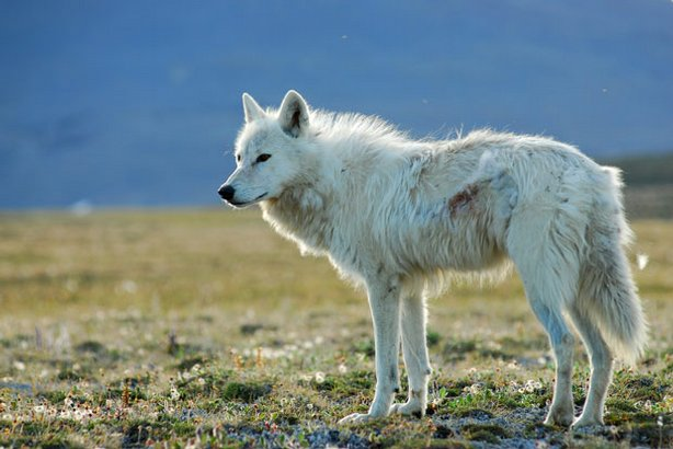 This film follows the perilous parenthood of two species — white gyrfalcons and Arctic wolves — on Canada's remote Ellesmere Island, where winter lasts nine months and raising young in such a hostile environment is a daily struggle. Pictured: A white wolf.